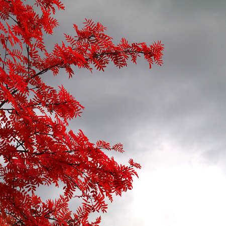 red rowan leaves on the background of dark rainy clouds, depressing autumn mood, square format, copy space Stock fotó