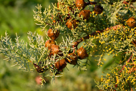 closeup on green thuja branch with seed cones on it