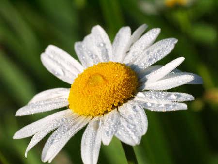 daisy flower with dewdrops on it under morning sunlight, macro Stock fotó