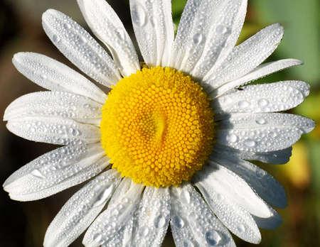 daisy flower macro, raindrops, top view
