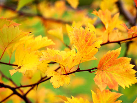 yellow and orange leaves on a shrub in autumn, selective focus Stock fotó