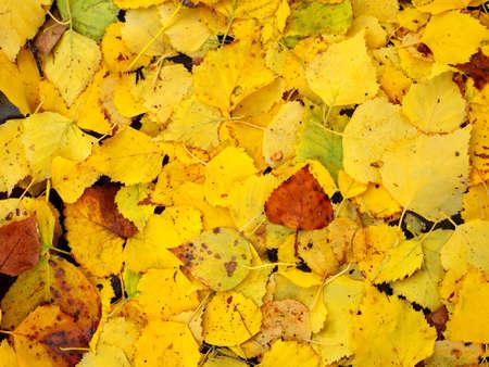 fallen yellow birch tree leaves on ground Stock fotó