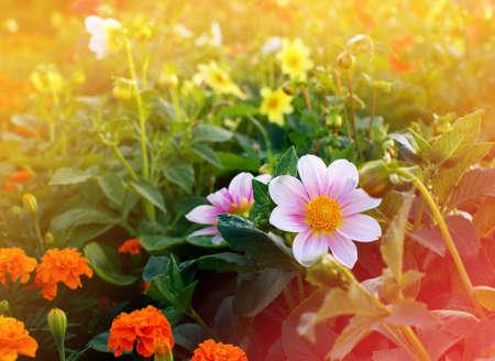dahlia single-flower on flower bed, sunlight effect toned