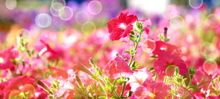 red mallow flowers on flowerbed,  shallow depth of field, bokeh, toned, suitable for header or banner Stock fotó