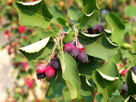Ripe amelanchier berries on bush Stock fotó