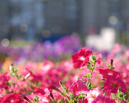 red flowers on flowerbed in a city with building in the background, shallow depth of field, bokeh