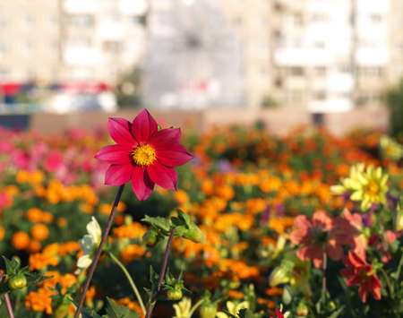 red dahlia single-flower on flower bed in a city with buildings in the background in the morning Stock fotó