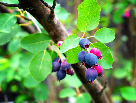 Ripe amelanchier berries on bush, closeup, lomo effect