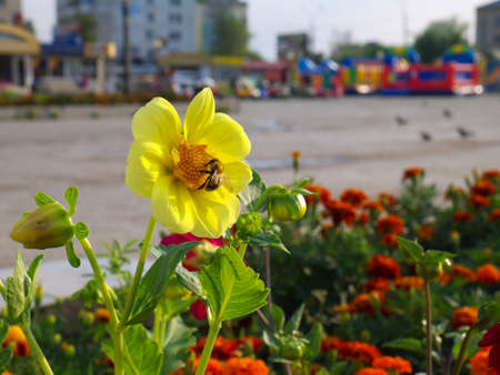 dahlia single-flower and a bee on flower bed in a city with buildings in the background in sunset Stock fotó