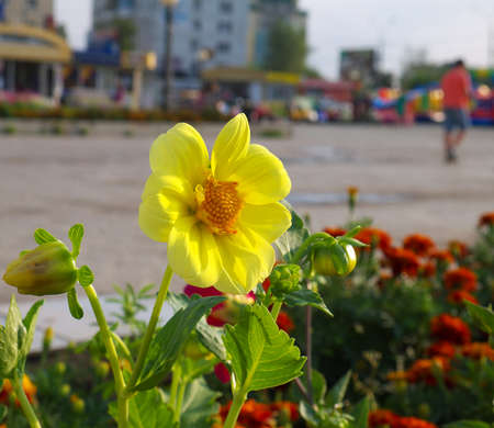 dahlia single-flower on flower bed in a city with buildings in the background in sunset
