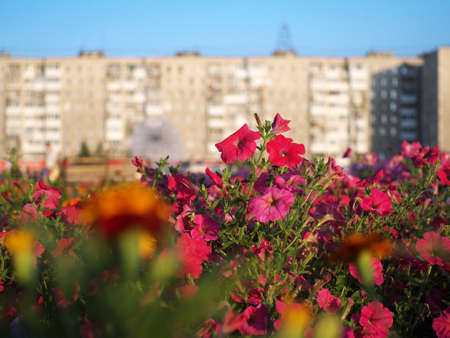 red flowers on flower bed in a city with buildings in the background in sunrise