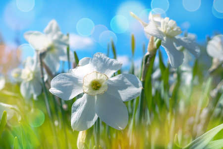 white narcissus on the background of clear sky, toned