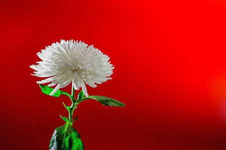 single white chrysanthemum flower plant on red background with copy space, studio shot