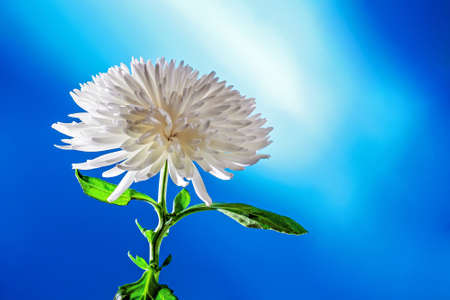 single white chrysanthemum flower plant on blue background with copy space, studio shot