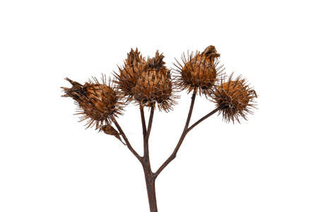 closeup on dry burdock seed head or burr isolated on white background