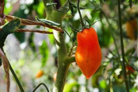 closeup of ripe long tomato growing on vine in greenhouse Stock fotó