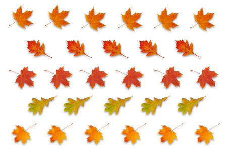 pattern with autumn red, orange and yellow leaves isolated on white background