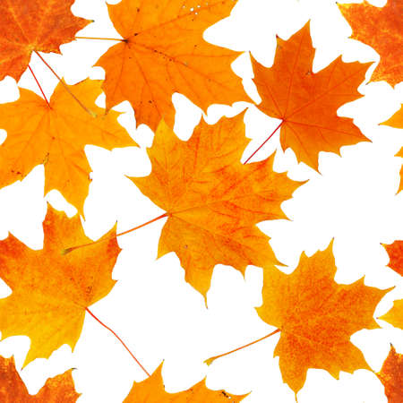 seamless pattern with various maple autumn leaves isolated on white background