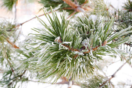 macro of green needles on pine tree branch covered with hoarfrost Stock fotó