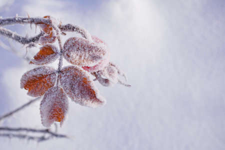 brown dry leaves on shrub branch in winter covered with hoarfrost, copy space
