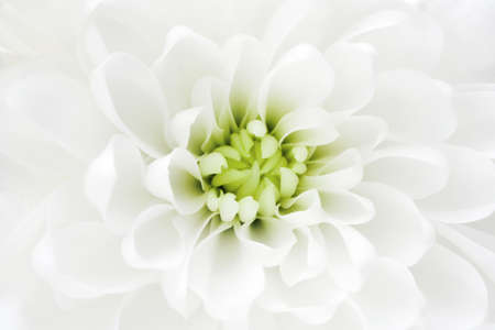 Macro of white chrysanthemum flower. Template for bridal or baptism invitation card. Romantic delicate flower petals. Stock fotó