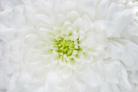 Macro of white chrysanthemum flower. Template for bridal or baptism invitation card. Romantic delicate flower petals.