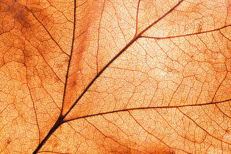 Dry leaf pattern and background. Leaf texture seen in back light.