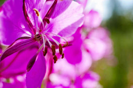 Closeup of fireweed flower, also known as blooming Sally. Macro of rosebay willowherb with copy space. Fireweed herbal tea.