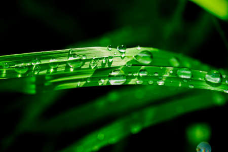 Water drops on green grass blades. Macro of rain or dew drops under sunlight. Clear and fresh water concept.