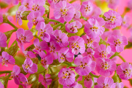 Macro of tiny pink flowers. Closeup of inflorescence of small flowers. Top view on bunch of little delicate flowers. Stock fotó