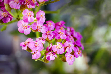 Macro of purple yarrow cluster. Flowerhead of tiny pink flowers. Closeup of inflorescence of small flowers. Top view on bunch of little delicate flowers. Stock fotó