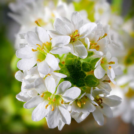 Macro of delicate tiny white flowers. Blooming  hoary alyssum. Top view of cluster of white little flowers.