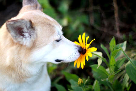 The dog feels the fragrance of the flower