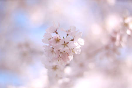 Cherry blossoms and blue sky photo