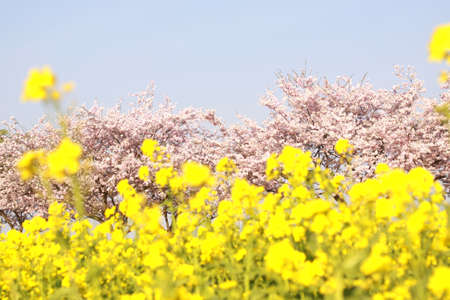 Cherry blossoms and a rape and blue sky photo