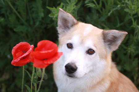 Dog of the smile and flowers Stock Photo