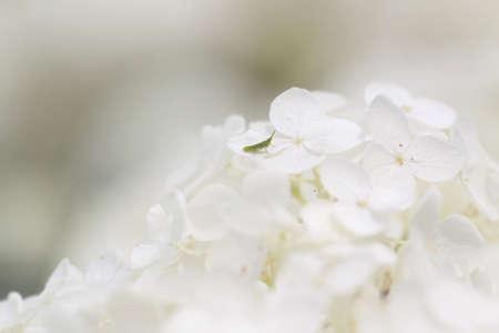 Hydrangeas and the grasshopper photo