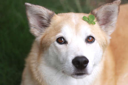 The dog and four-leaf clover photo