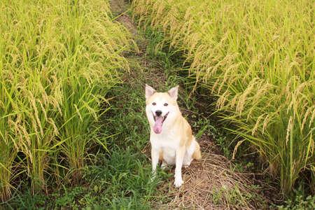 犬と田んぼ 写真素材