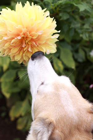 close your eyes: Dog sniff the smell of flowers Stock Photo