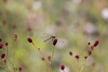 sanguisorba: Burnet and dragonfly