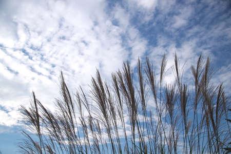 pampas: Japanese pampas grass and autumn sky Stock Photo