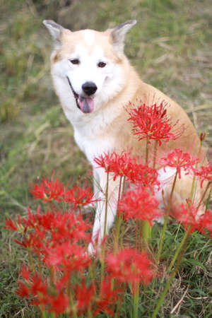 Smile of dogs and amaryllis Stock Photo