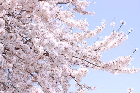 Cherry and blue sky in full bloom