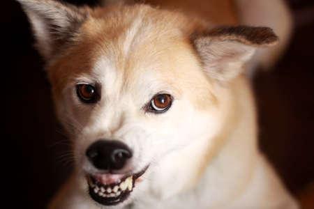 angry dog: Cara enojada del perro