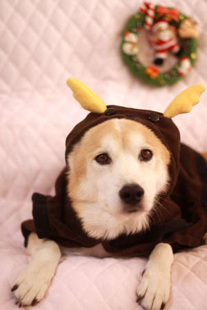 Dog wearing reindeer of clothes Stock Photo