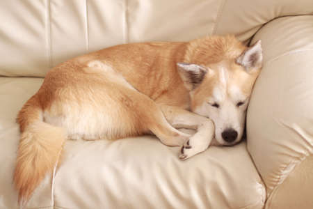 Dogs have a nap on the sofa Stock Photo