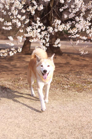 Dog runs and the cherry blossoms in full bloom Stock Photo