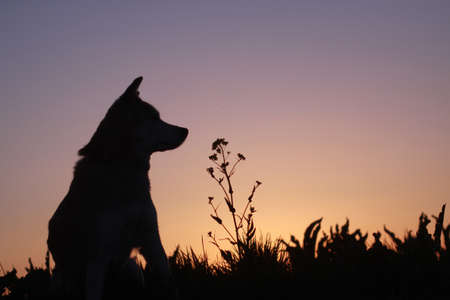 Silhouette of a dog at dusk and flowers