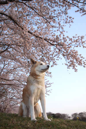 The cherry blossoms and the dog